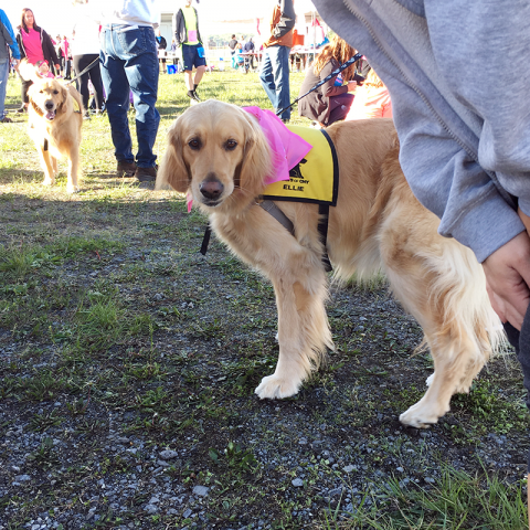 Therapy Dog Ellie meets with participants at the Race for the Cure