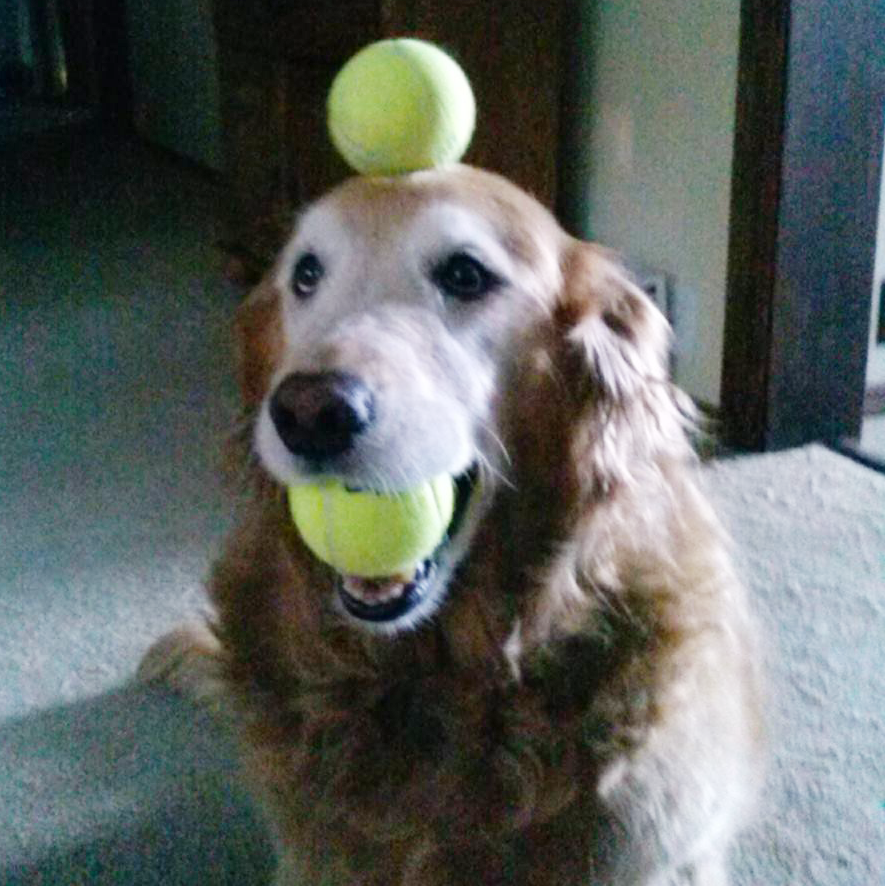 Retired Therapy Dog Chloe