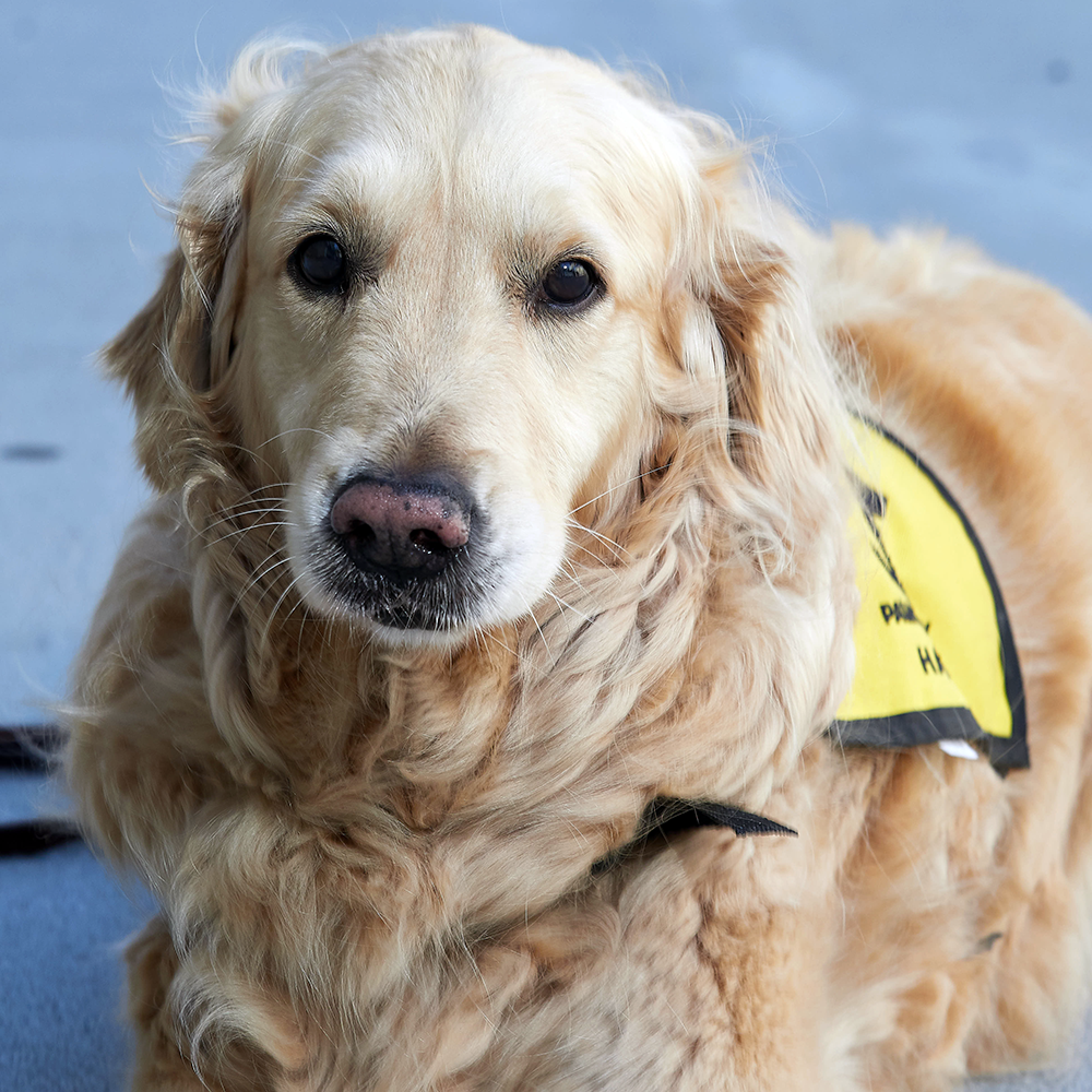 Retired Therapy Dog Hali